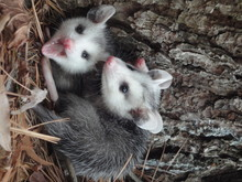 Possums By Tree Trunk In Forest