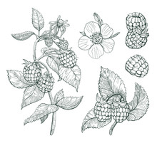 Raspberry Vector Set. Sketch Of Berry Branch, Isolated Raspberry Drawing On White Background.