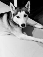 Portrait Of Siberian Husky On Floor