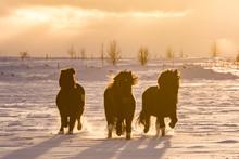 Icelandic Horses Running On Snow Covered Land Against Sky During Sunset
