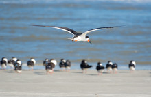 Black Skimmers Flying Over Surf At Jeckle Island Beach In Coastal Georgia.
