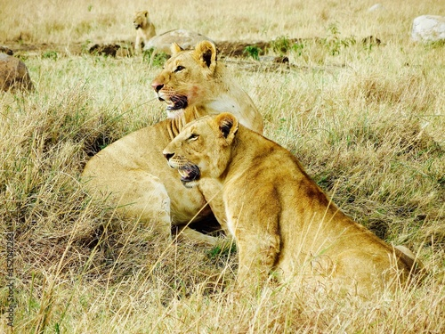 Photo Alert Lionesses Looking Away On Sunny Field