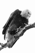 Bald Eagle Looks Down From Per...