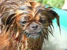 Close-up Portrait Of Wet Brown Dog