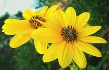 Honey Bee Feeding On Yellow Tickseeds Nectar