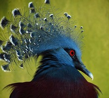 Close-up Of Victoria Crowned Pigeon With Red Eyes