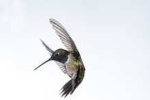 A Male Black Chinned Hummingbird In Flight With Wings Forward And Tail Flared On A White Background.