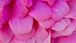 Leinwanddruck Bild - Extreme Close-up Of Pink Hydrangea Flowers