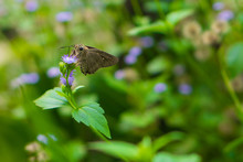 Close-up Of Moth Pollinating On Purple Flower