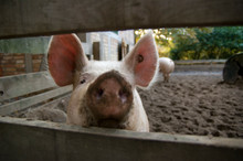 Close-up Of Pig In Pen