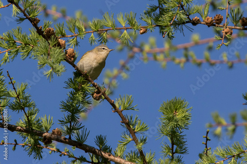 Tennessee warbler (Leiothlypis peregrina) Canvas Print