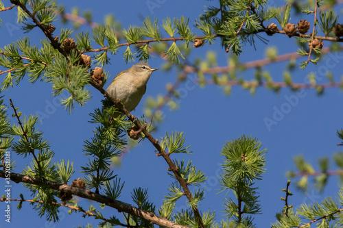 Fotografía Tennessee warbler (Leiothlypis peregrina)