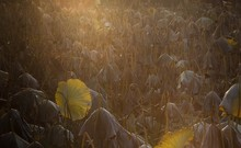 Sunlight Falling On Lotus Field