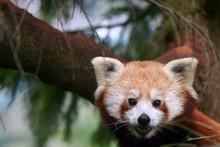 Portrait Of Red Panda