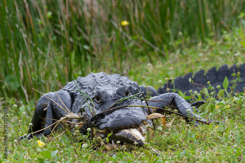 Alligator With Fish On Grassy Field Canvas Print