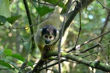 Close-up Of Spider Monkey On Tree At Forest