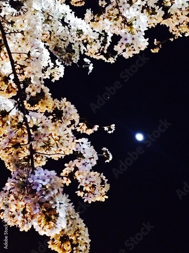 Fototapety, obrazy: Low Angle View Of Cherry Blossom Tree Against Sky At Night