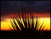 Silhouette Aloe Vera During Sunset