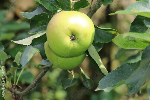 Tableau sur Toile Close-up Of Granny Smith Apple Growing Outdoors