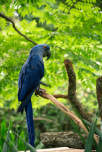Hyacinth Macaw Perching On Branch