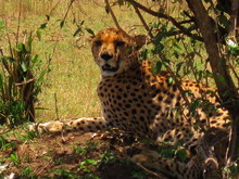 Portrait Of Cheetah Relaxing On Field During Sunny Day