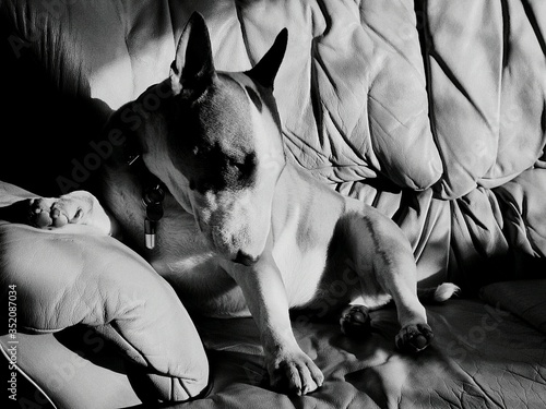Fotografia Close-up Of Bull Terrier Sitting On Sofa At Home
