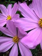 canvas print picture - Close-up Of Pink Cosmos Flowers Blooming Outdoors