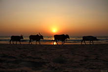 """""""END OF THE DAY"""" THE IMAGE WAS SNAPPED IN GOA ON BENAULIM BEACH."""
