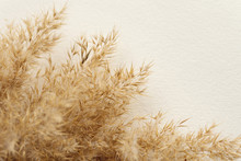 Dried Natural Pampas Grass On White Surface. Flat Lay. Background Boho. Minimalism. Low Depth Of Field..