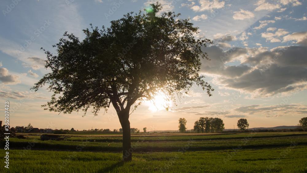 Fototapeta Samotna jabłoń w blasku zachodzącego słońca