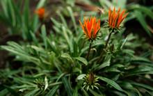 Two Prickly Bright Orange Gazania Flowers