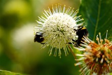 Close-up Of Bumblebees Pollinating On Buttonbush