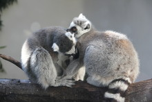 Close-up Of Lemurs Relaxing On Tree Truck