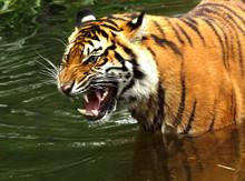Close-up Of Bengal Tiger Growl...
