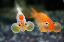 Close-up Of Bubble Eye Goldfish Swimming In Water