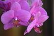 Leinwanddruck Bild - Close-up Of Pink Orchid Flowers