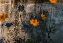 Black-eyed Susan Flowers Blooming Against Wall