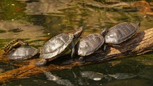 View Of Mating Turtles