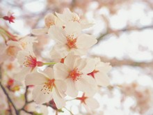 Close-up Of Cherry Blossoms In...