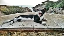 Tuxedo Cat Resting On Boardwalk