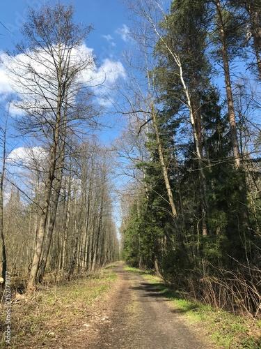 Fototapeta Krone of a tree in spring with blue sky