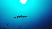 Oceanic White Tip Shark And Fi...