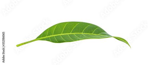 Fotomural Mango leaves on white background.