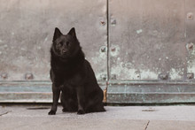 Black Dog Portrait Schipperke