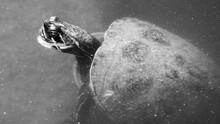 High Angle View Of Turtle Swim...