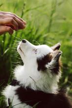 Close Up Portrait Of A Mini Australian Shepherd Puppy