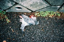 High Angle View Of Dead Pigeon...
