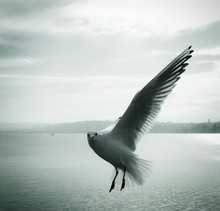 Portrait Of Seagull Flying Ove...