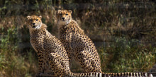 Cheetahs Sitting In Forest See...