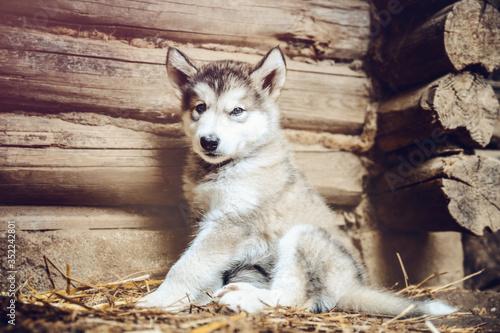 cute puppy alaskan malamute run on grass garden Wallpaper Mural